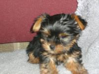 two male yorkies akc registered 8 wks old d.o.b.