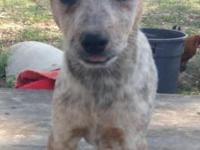 I have two female Australian Cattle Dogs.They have
