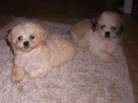 Two female bichon/shih Tzu puppies. Vet checked and