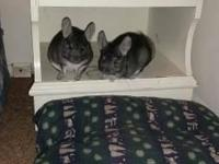 We have 2 female chinchillas that are 4 months old, and