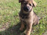 Six CKC German Shepherd Puppies. Complete blooded. Sire