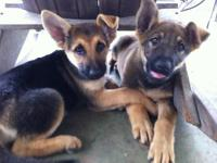 Two Female CKC Registered German Shepherd Puppies - 11