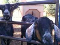 Two female goats. May or may not be pregnant. $30 for