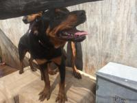 Two 7 month female rottweiler pups. Approximately date
