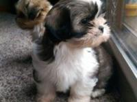 Female Shih Poo puppies. 8 weeks old. Up to date on