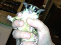 I am re homing my two female sister sugar gliders. They