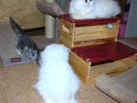 I have Two Female White Persian. Two sisters one Blue