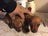 Two female wiener dogs purebred will have first shots