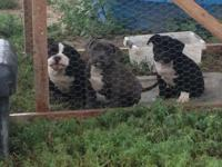 Two foundation females left born April 22 2015 these