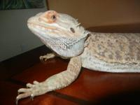 For Adoption, I have two very large bearded dragons in