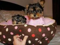 I have Lovely Tea Cup Yorkie Babies Ready For their new