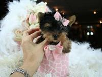 Two Gorgeous Tiny Teacup Yorkie Puppies Available. Text