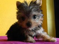 Two gorgeous Yorkie puppies for adoption, Male and