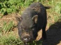 "Two male potbelly pigs. ""T"" is almost two years old,"