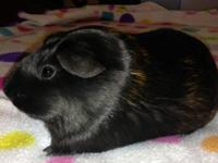 Two female guinea pigs for adoption to loving home(s).