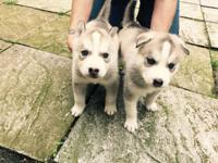 Two lovely husky puppies ready for viewing and booking