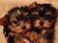 2 young yofkies need rehoming. Owner moved to smaller