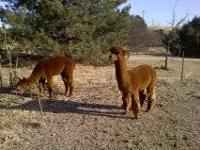 For Sale 2- male Intact Alpaca's, great watch animals.