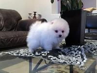 Two male  and two female Pomerian puppies . Come