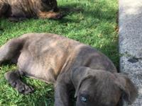 I have 2 beautiful Cane Corso puppies for sale.