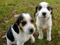 We have two adorable Cheagle puppies that are ready for