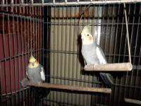 TWO MALE COCKATIELS ONE 9 MONTHS OLD ( BABY) THE OTHER
