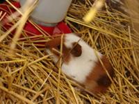 I have two baby male guinea pigs that need new homes. I