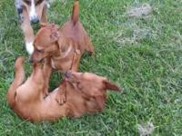 I have two male dachshund mixed pups six months old.