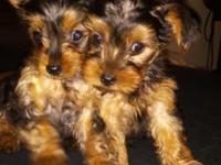 These are purebred Yorkie puppies. They have had their
