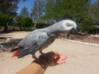 * Baby African Grey Parrot - 1 year old, hand reared,
