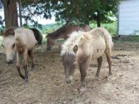 i have two little mini stud colts that were born the