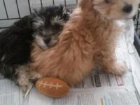 Two puppies available male tan female mixed colored