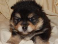 two pom puppies one male one female will be ready