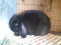 Hello! I have two Holland lops for sale. They are both