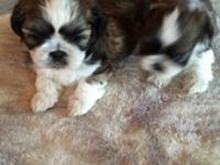 Two shihtzu brothers are going to be small lil guys