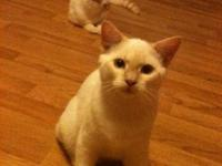 Two white kittens, Siamese and Persian mix both males