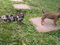 Two 9 week old Chihuahua puppies are ready & looking
