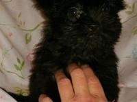 We have two toy size male shorkie pups left available