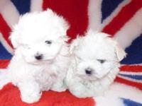 Gorgeous Teacup Maltese puppies, 1 male and 1 female,
