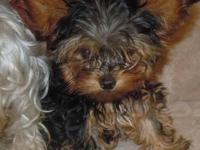 Sold as PET Only! Two tiny female yorkies pups. All