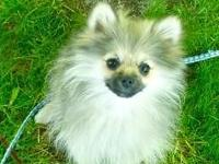 Up for adoption are two very sweet Teacup Pomeranian