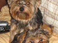 Two Toy Yorkies One male,One Female.The male is 4yrs