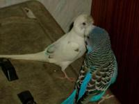 two young parakeets with new cage, new toys and a lot