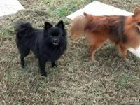Two young Pomeranians, the brown weight about 7 pounds,