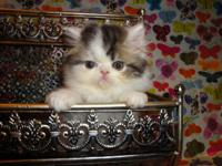 I have 2 male Persian kitties. They are van color.