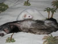 2 super nice female ferrets. Both descented and spayed.