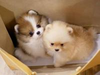 Gorgeous Teacup pomeranian puppies, 1 male and 1