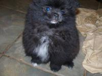 Pomeranian ,raised in my home , loves everyone. black