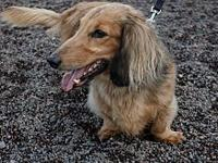Ty (eddie)'s story Ty is a brown long-haired dachshund