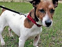 Tyke's story Tyke is a 6 year old Jack Russell mix who